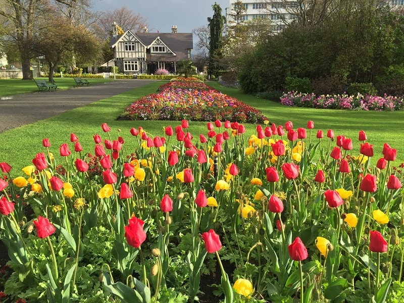 Tulips in Christchurch Botanic Gardens, New Zealand