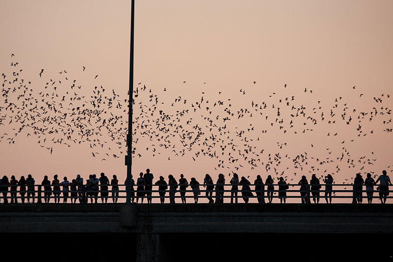 Bats taking flight over people standing on Congress Avenue Bridge in Austin Texas at sunset