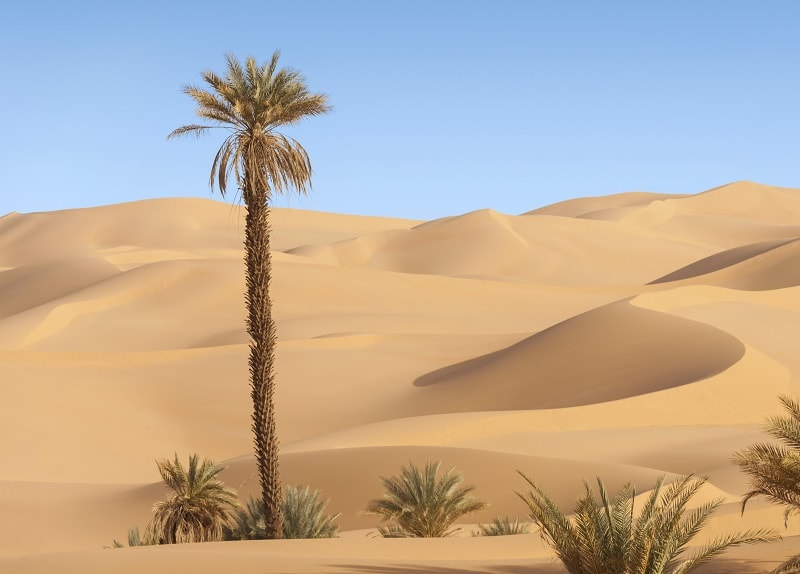 Palm Tree in the desert near Doha