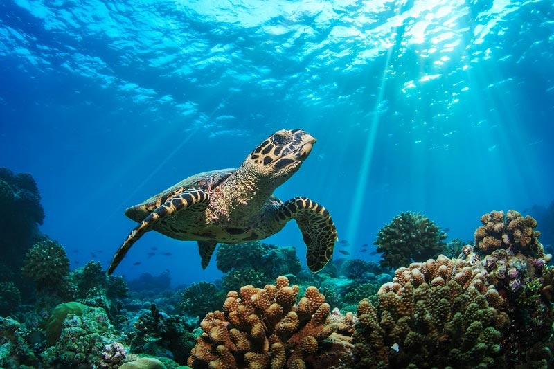 beautiful reef with turtle swimming