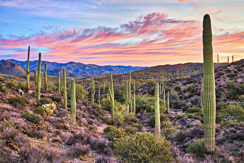 Sunset in the desert with pink clouds and cacti in Phoenix, Arizona