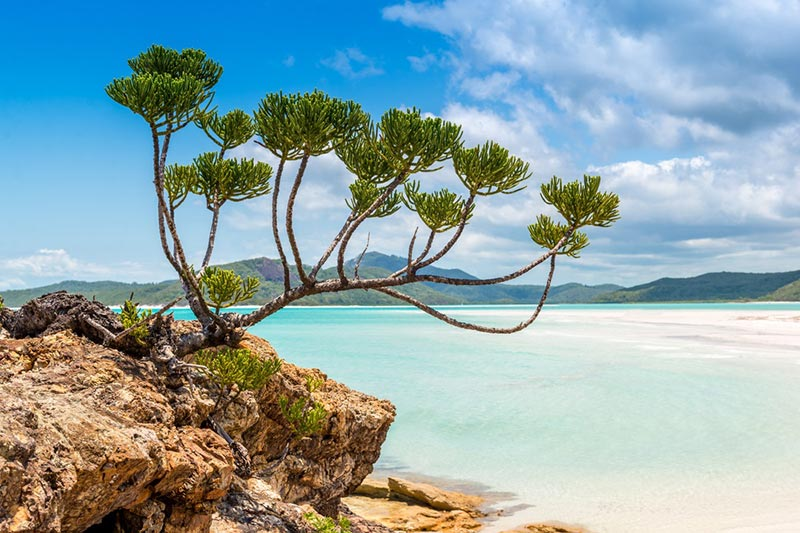A tree growing on a white sand beach at Whitehaven Beach in the Whitsundays