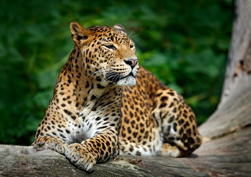 Leopard lying in Yala National Park, Sri Lanka