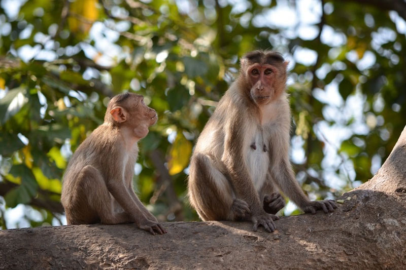 Monkeys in Sanjay Gandhi NP near Mumbai, India