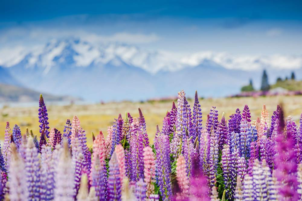 Mountain Flowers - New Zealand - Just Fly Business
