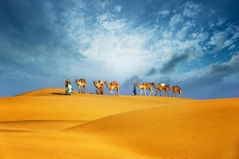 Camels in Desert, Dubai
