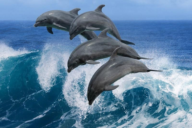 Dolphins Swimming - Save Our Seas | Just Fly Business