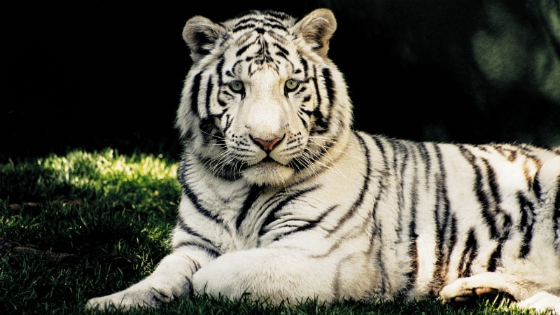 White Tiger - Luxury Holiday at Mirage Hotel & Casino | Just Fly Business