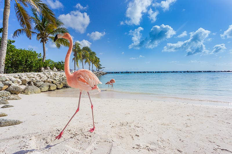 Pink Flamingo, Aruba - Caribbean | Just Fly Business