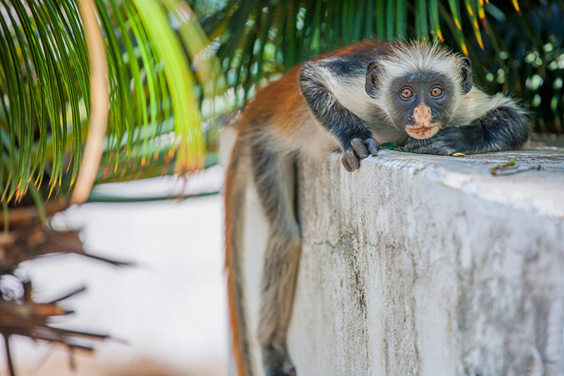 Red Colobus Monkey - Zanibar Tanzania | Just Fly Business