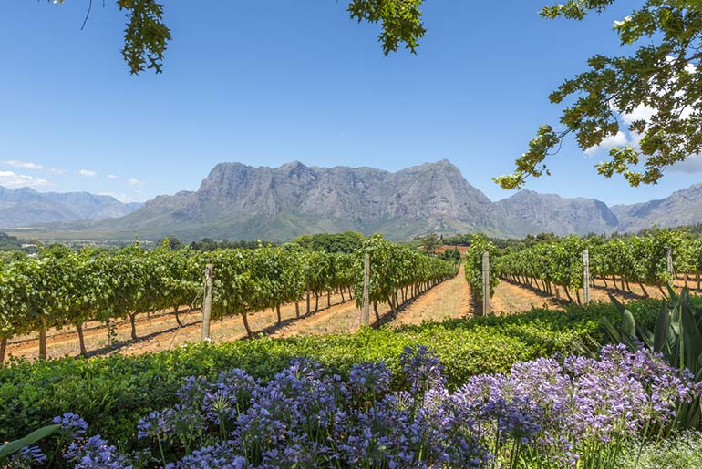 Grae vines growing in rows in the wine region of Cape Town, South Africa