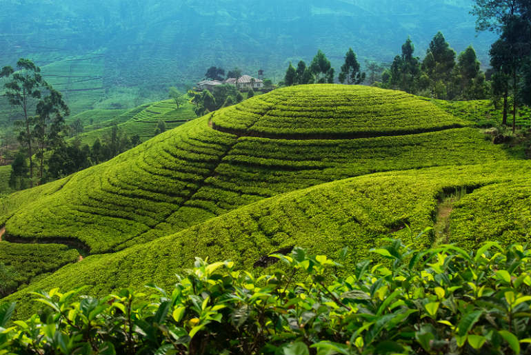 the Eliya tea plantation