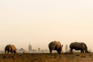 Rhinos in Mairobi National park at sunset