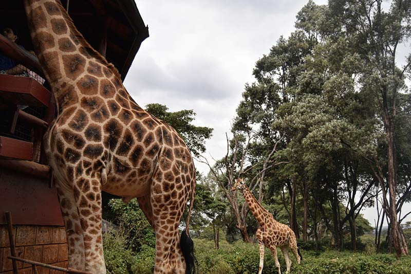 Feeding giraffes at the Giraffe Centre in Nairobi