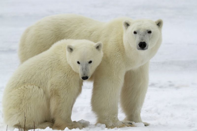 Two Polar Bears on the ice at Churchill in Canada