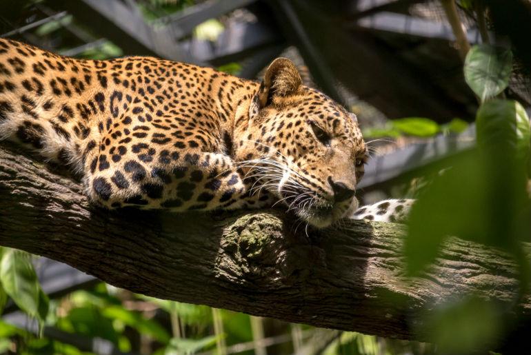 Leopard Singapore Zoo Singapore